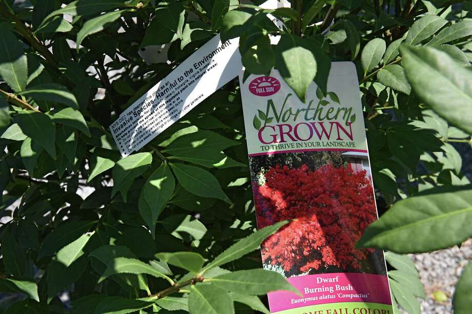A required tag is seen on a burning bush at Faddegon's Nursery on Wednesday, July 5, 2017 in Latham, N.Y. Called a Japanese barberry, the new version of the plant had been made sterile, and thus cannot spread. Jumping worms have been seen under barberry bushes in Connecticut. Photo: Lori Van Buren / Albany Times Union / 20040985A