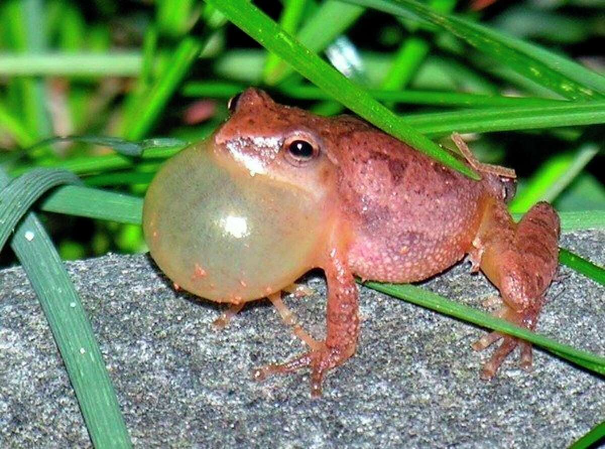 Spring Peepers, like this one from the Gladwin area, are one of the first frogs to begin calling in Midland County.(Patrick Bevier | for the Daily News)