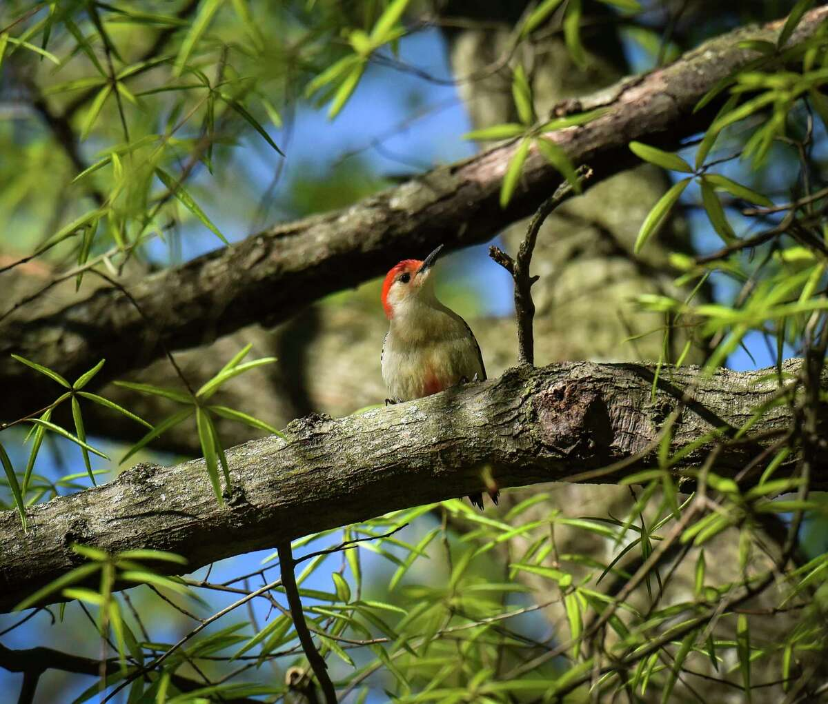 A red-bellied woodpecker in the District of Columbia's Rock Creek Park. The eBird Project blends birdwatchers' sightings with satellite photos and data about many species. The combination produces precise digital maps predicting when and where threatened and endangered birds migrate.