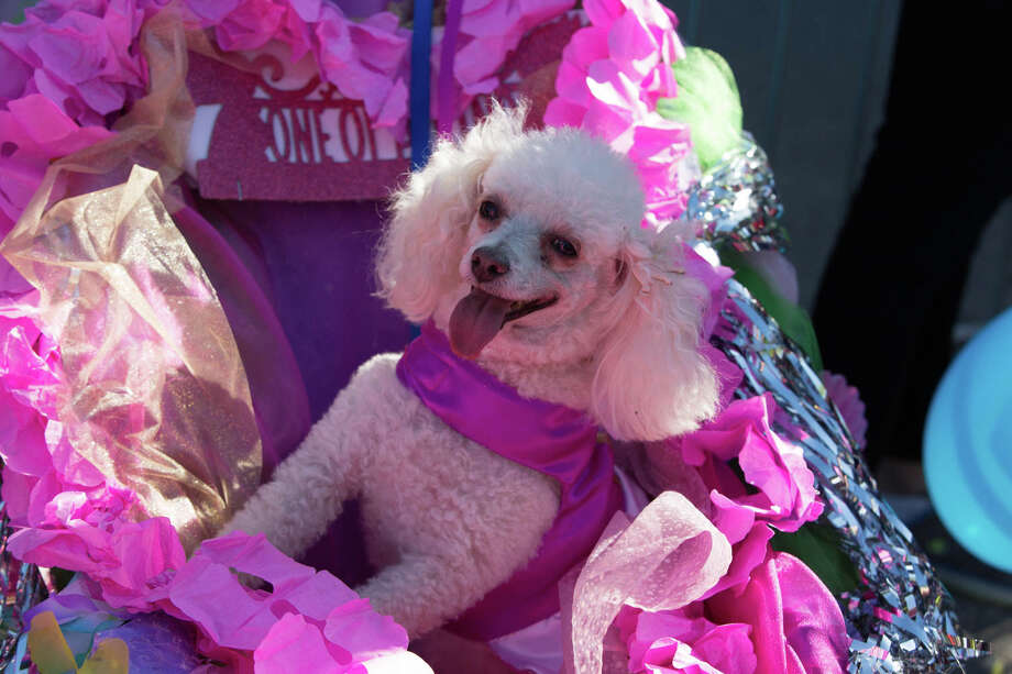 Pups has their time to party and shine during Fiesta at the Pooch Parade on Friday, April 27, through the streets of Alamo Heights. Photo: B Kay Richter For MySA.com