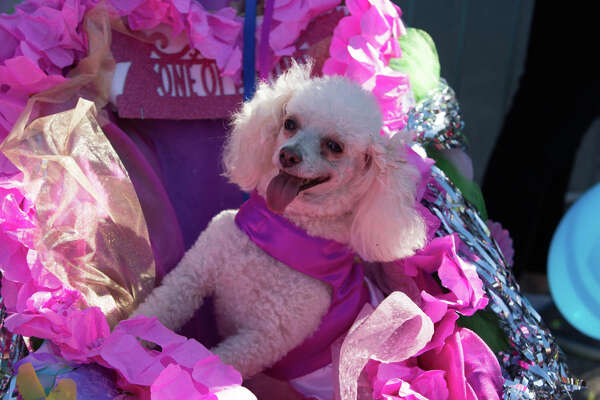 Pups has their time to party and shine during Fiesta at the Pooch Parade on Friday, April 27, through the streets of Alamo Heights.