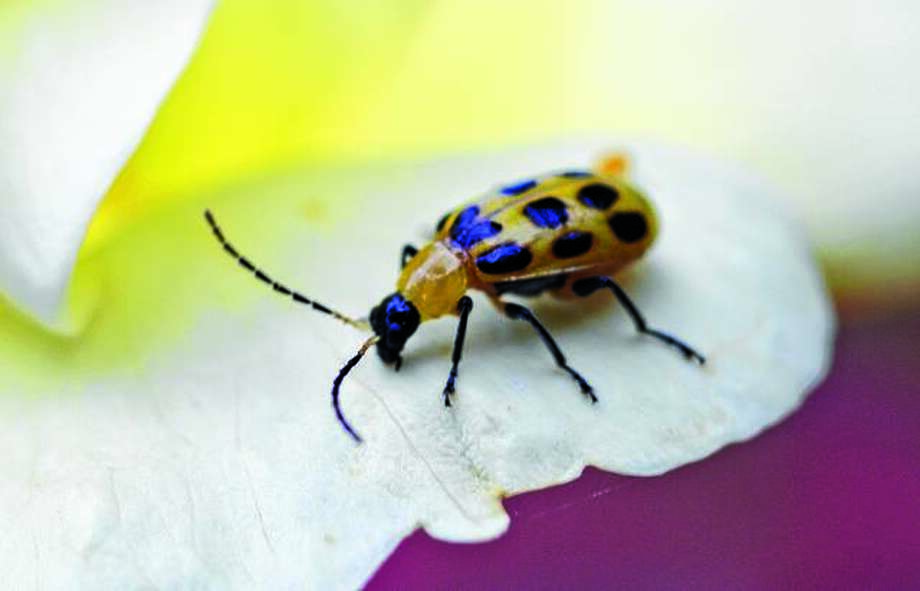 The corn rootworm beetle, or spotted cucumber beetle as it is known to gardeners, produces the devastating corn rootworm, also known as the tomato fruitworm. Photo: David Blanchette | For The Journal-Courier
