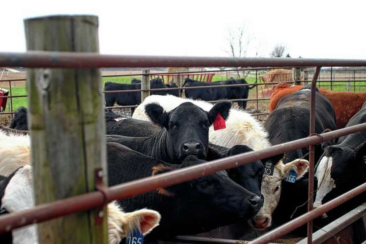 Cattle waited for their dinner on a chilly day in April. The Joneses and Rahes work together to prepare animals for shows and also partner on some sales.