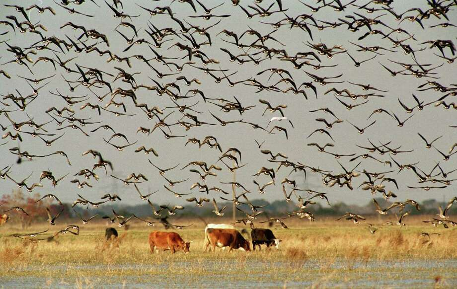 Geese - mostly Speckled Bellies - fly over a roosting pond north of Katy. Photo: D. Fahleson, Staff / Houston Chronicle / Houston Chronicle