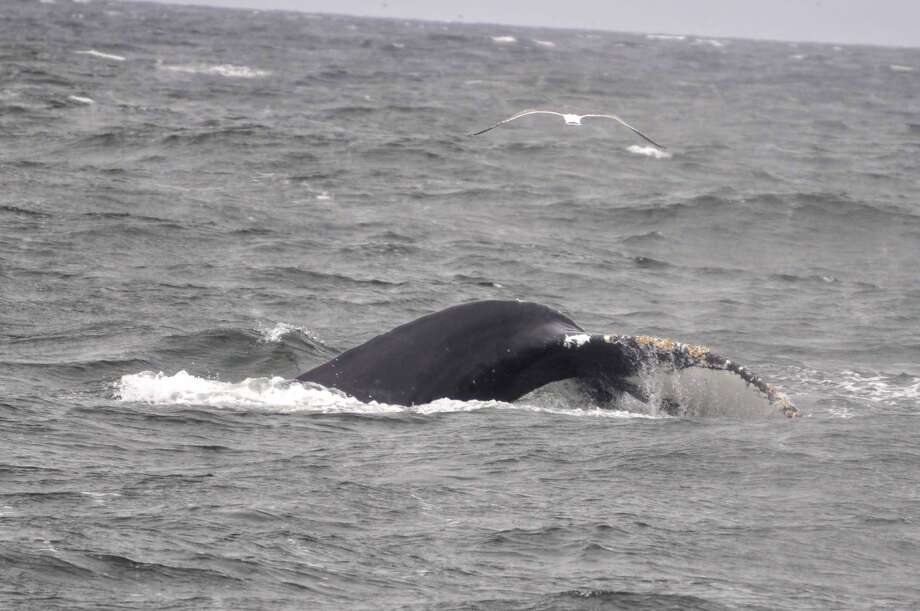 Six humpback whales were spotted in the San Francisco Bay and west of the Golden Gate Bridge on April 27 and 28, 2019. Photo: Michael Pierson / San Francisco Whale Tours