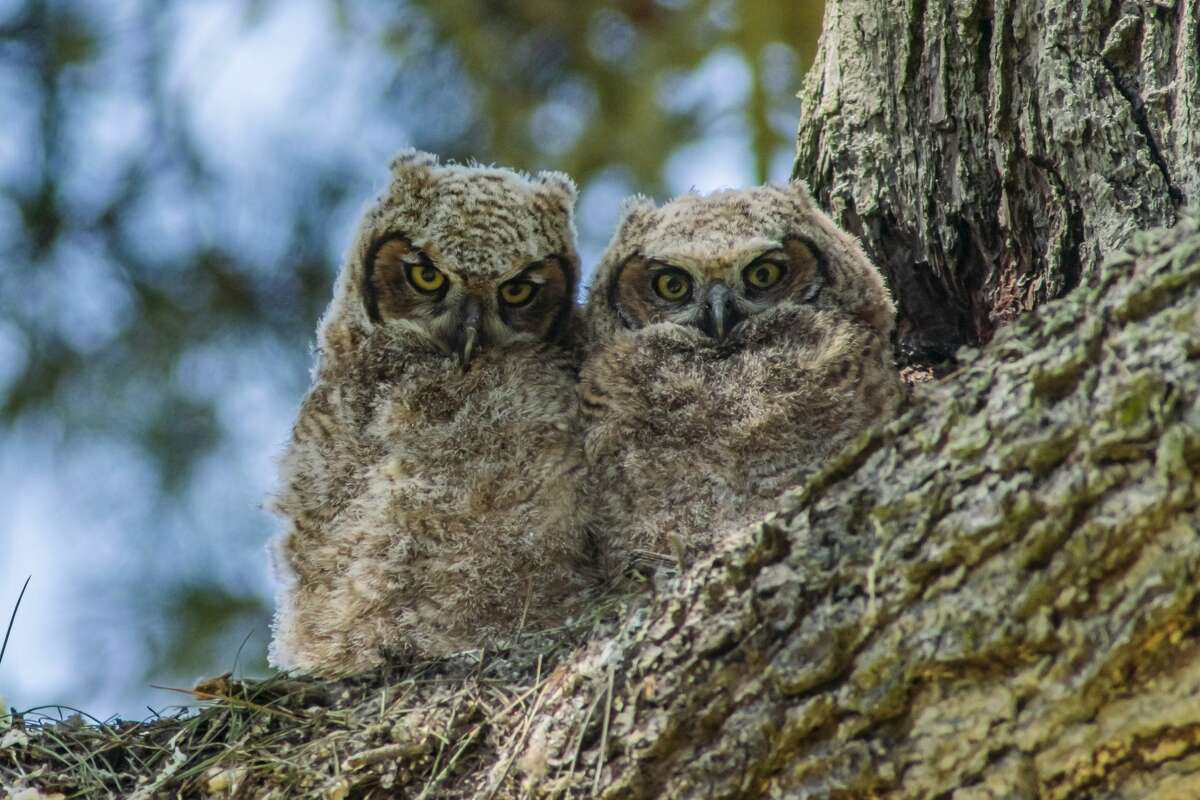 Some of Kwon Liew's photographs taken in San Francisco of a new pair of baby owls.