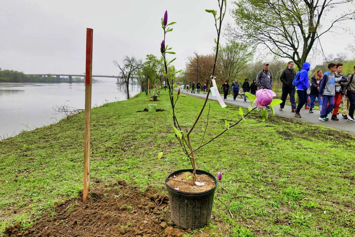 A magnolia tree is seen in a pot before being planted during a tree planting event at the Corning Preserve on Tuesday, April 30, 2019, in Albany, N.Y. Fifth-grade students from Thomas O?•Brien Academy of Science and Technology in Albany and Woodlawn Elementary School in the Schenectady planted trees along the bike path. The event was put on by Albany Goes Green, a community initiative of the Albany Fund for Education that includes the City of Albany, The College of Saint Rose, Cornell Cooperative Extension master gardeners, Friends of the Normans Kill, the New York State Department of Environmental Conservation and the Washington Park Conservancy. This is the tenth year of the Albany Fund for Education tree planting event. (Paul Buckowski/Times Union)
