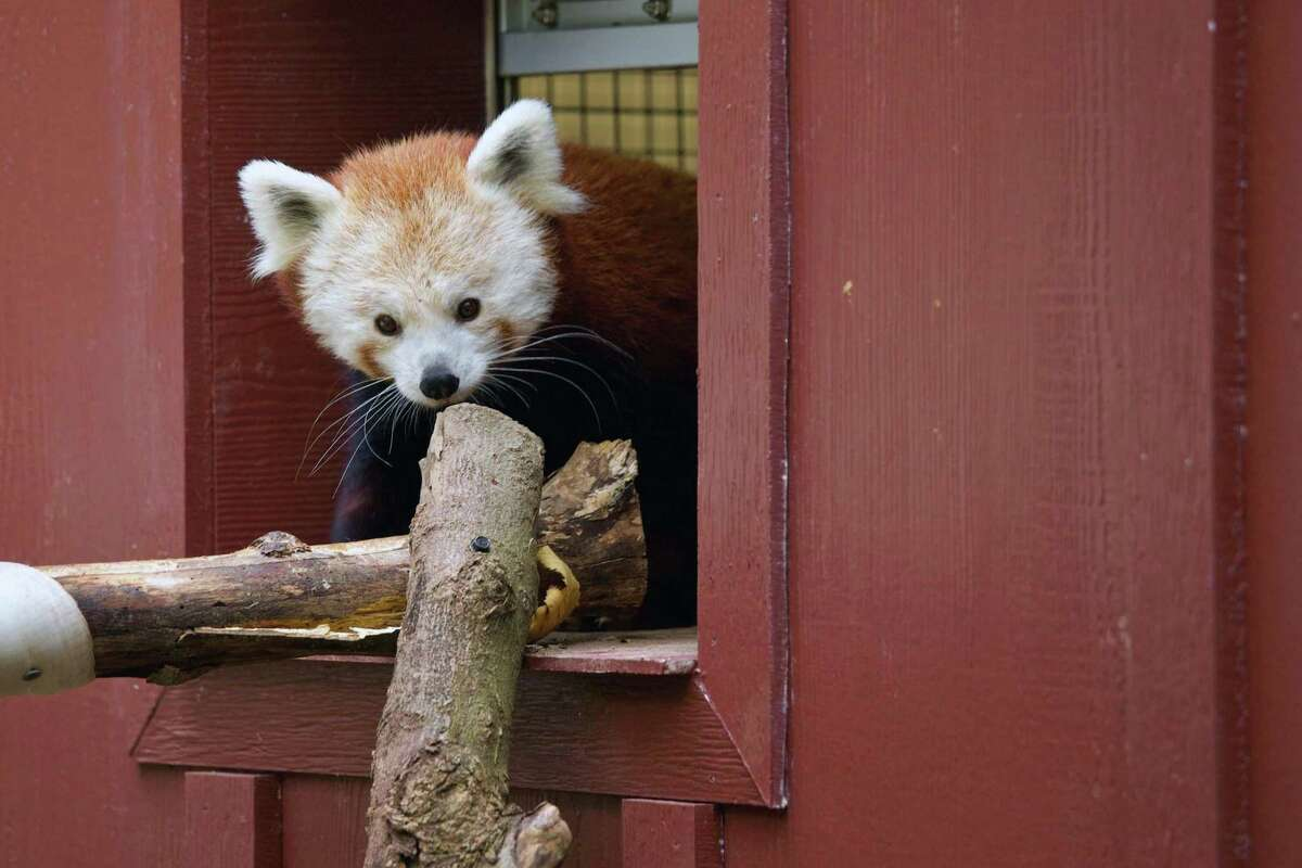 File photo of one of the Beardsley Zoo's red pandas in Bridgeport, Conn.
