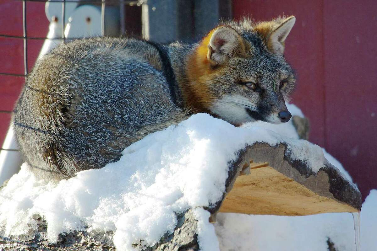 File photo of one of the Beardsley Zoo's gray foxes in Bridgeport, Conn.