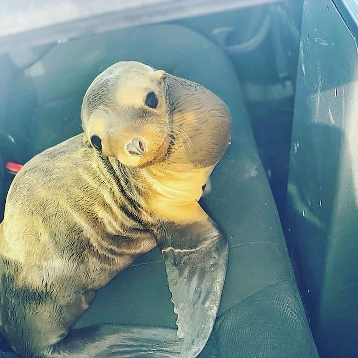 Wayward sea lion catches a ride from the CHP
