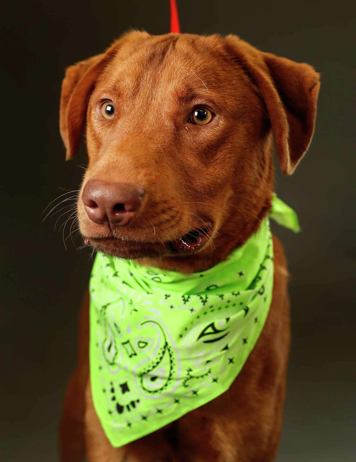 Cali is a male, Labrador Retriever mix, unknown age and is ready to be adopted from Harris County Animal Shelter. (Animal ID: A531453) Photographed Tuesday, April 30, 2019, in Houston. Cali came into the shelter as a stray, but was microchipped and wearing a collar. Attempts to find his owner failed, but this dog knows how to sit and shake hands. He is a gentle and loving dog.
