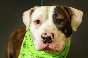 Prince is a 1-year-old, male, American Bulldog mix and is ready to be adopted from Harris County Animal Shelter. (Animal ID: A531855) Photographed Tuesday, April 30, 2019, in Houston.  Prince is a handsome, sweet dog, who loves treats.