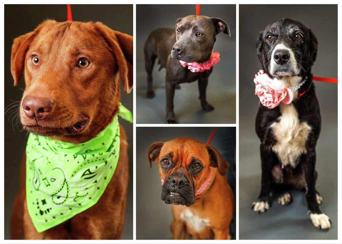 Dogs ready to be adopted or fostered from Harris County Animal Shelter. Photographed Tuesday, April 30, 2019, in Houston.