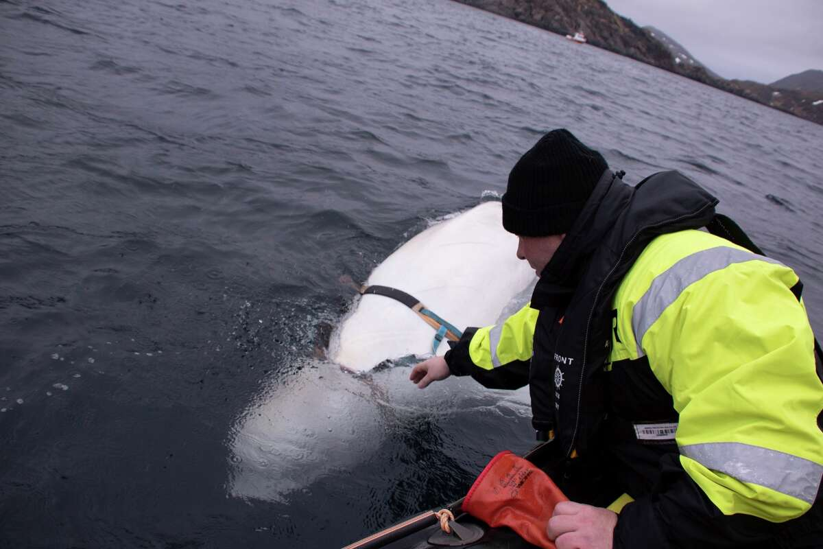 Joergen Ree Wiig tries to reach the harness attached to a beluga whale before the Norwegian fishermen were able to removed the tight harness, off the northern Norwegian coast Friday, April 26, 2019. The harness strap which features a mount for an action camera, says