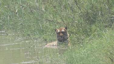 Viral photos claim tiger allegedly spotted along banks of