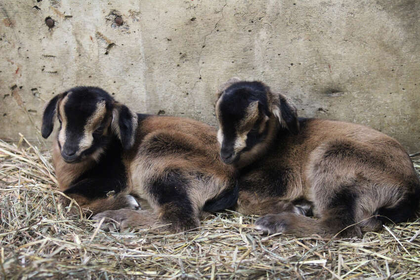 Troy the baby San Clemente Island goat - and his twin sister Verona - are among several newborn animals at the Rosamond Gifford Zoo in Syracuse who have recently been named after New York cities and towns. The zoo's 2019 name theme for babies is
