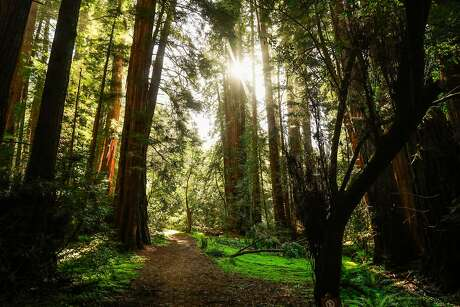 The sun peers through redwood trees at Muir Woods in Mill Valley, Calif. Photo: Gabrielle Lurie / The Chronicle