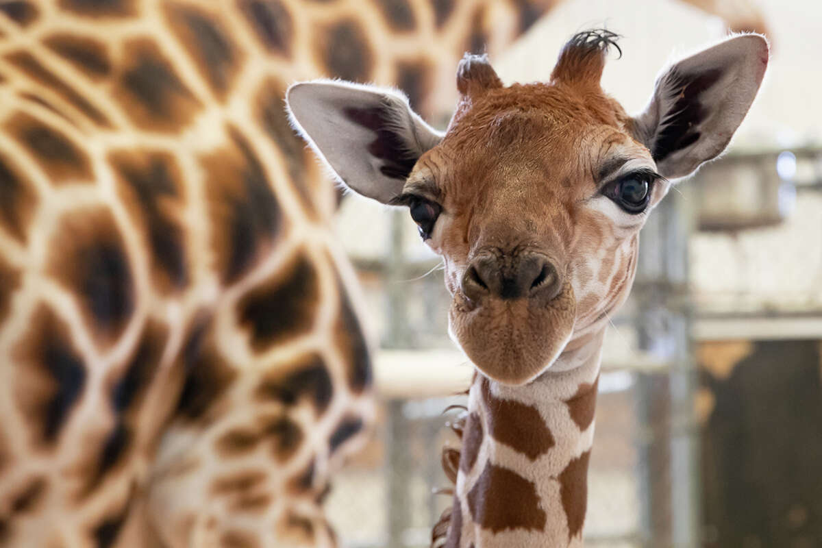 Woodland Park Zoo's giraffe, Olivia, gave birth Thursday morning just before 5:00 a.m. on May 2. Mom and baby remain in the off-view barn for quiet nursing and bonding. Shown in photo is the newborn a few hours after its birth.