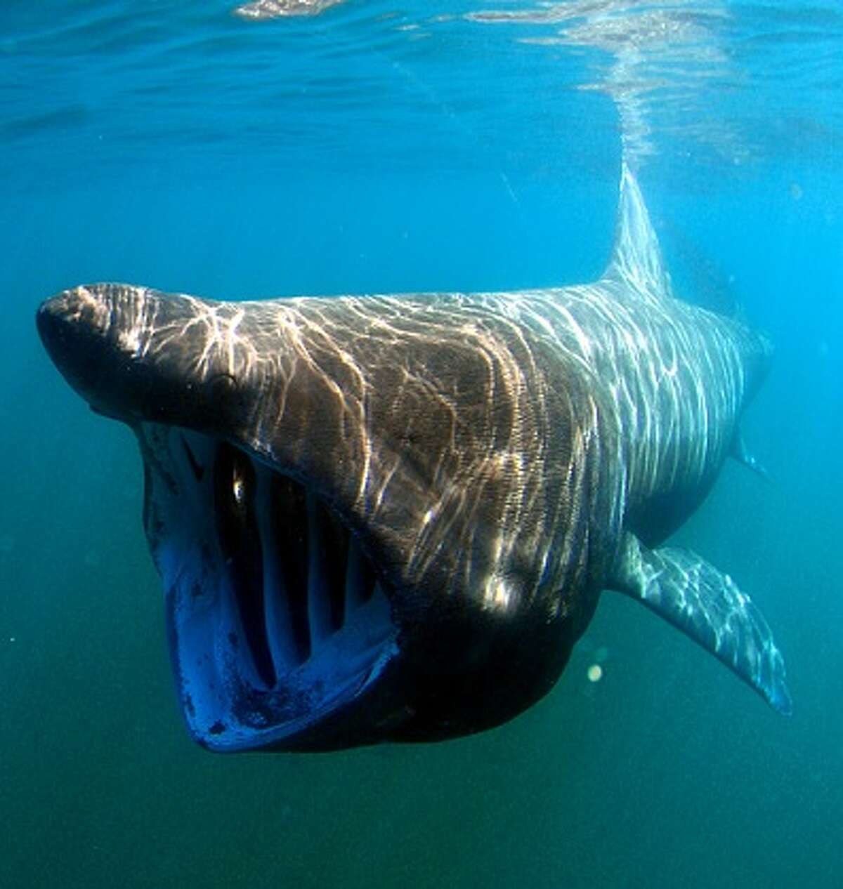Basking sharks are large and gentle and in April 2019 they started to reappear in California waters after a 30-year absence. (photo: Gregory B. Skomal / NOAA)