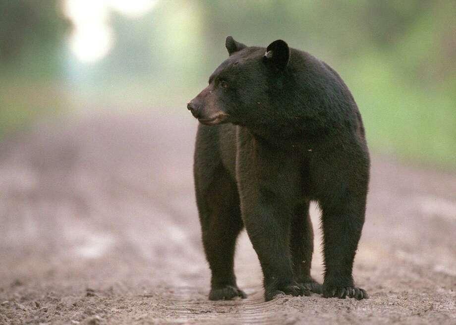 A black bear walks along a dirt road. Photo: Jim Bounds / TNS / Raleigh News & Observer
