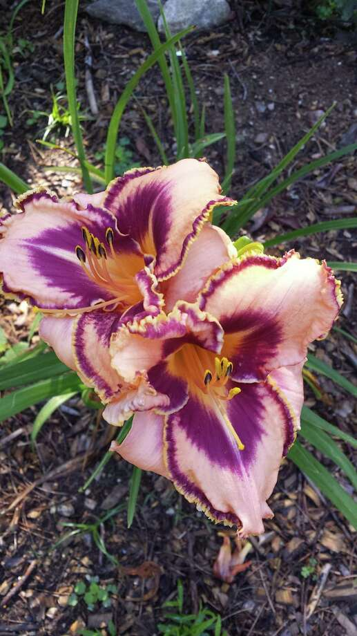 The Connecticut Daylily Society will host our annual daylily and perennial sale on Saturday, May 18, 2019, 10 a.m.-2 p.m. at the Avon Senior Center, Sycamore Hills Recreation Center, 635 West Avon Road, Route 167, Avon. rain or shine. Daylilies: miniature, single, double, eyed, spidery, ruffled, classic, and cutting-edge cultivars in every color, freshly dug from member gardens, start at $6. Sale runs from 10 a.m. - 2 p.m.  Cash and personal checks accepted. Check out www.ctdaylilyclub.com for more information. Photo: Contributed Photo