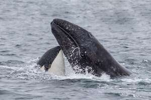 A killer whale seen attacking a gray whale calf west of Carmel Bay on May 1, 2019. The predation event was the second of the spring hunting season.