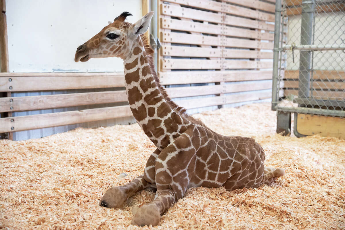 The rear legs of a baby giraffe born Thursday, May 2 at Seattle's Woodland Park Zoo were put into casts Friday after the baby was diagnosed with hyperextended fetlocks.