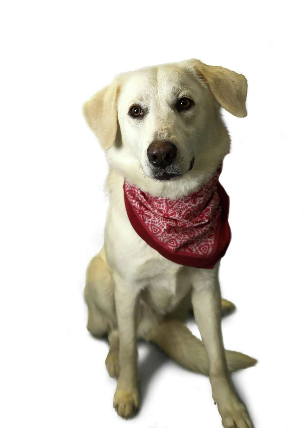 Romeo is a 1-year-old, male, Great Pyrenees mix and is ready to be adopted from Harris County Animal Shelter. (Animal ID: A526883) Photographed Tuesday, Feb. 12, 2019, in Houston.