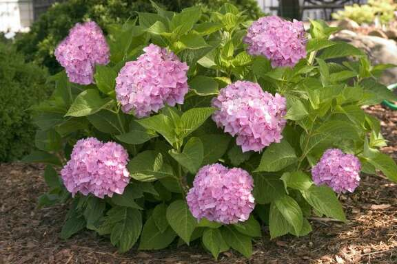 <<2880-44_HydrangeamacEndlessSummer[1].jpg>> Tplease put in scc Bailey Nurseries Endless Summer The Original hydrangea is pink in alkaline soil