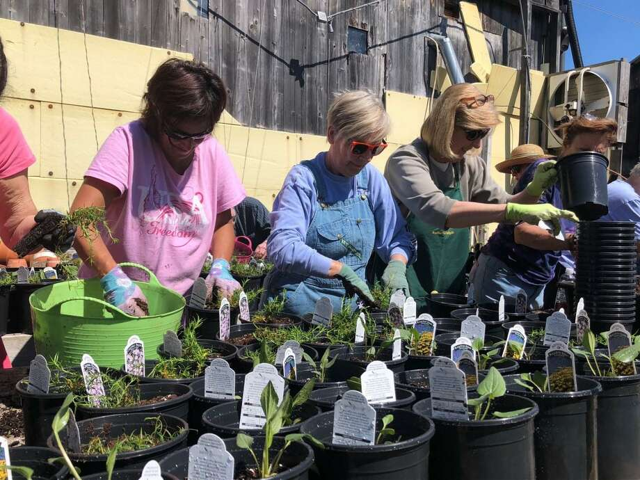 Lisa DiNardo, left, Pat Robik, center, and Dee Blewett prepare plants for the Ode Ripton Garden Club's annual plant sale this month. Photo: Brian Gioiele /Hearst Connecticut Media /