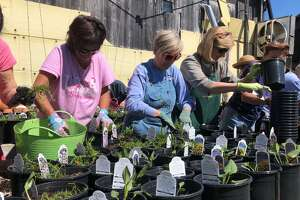 Lisa DiNardo, left, Pat Robik, center, and Dee Blewett prepare plants for the Ode Ripton Garden Club's annual plant sale this month.