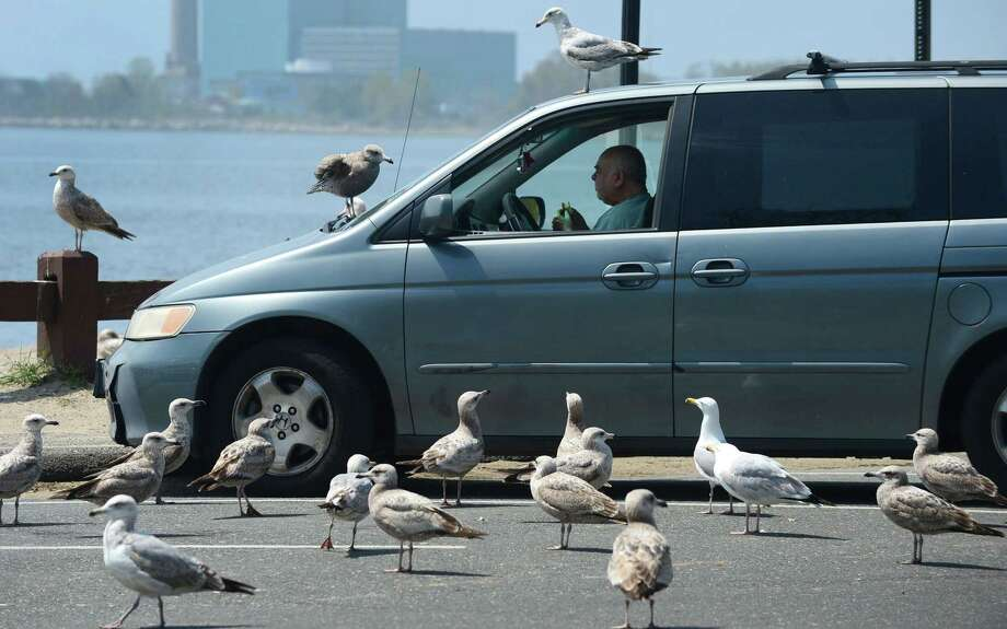 A man has lunch at Calf Pasture Beach on Thursday while seagulls wait for offerings. Photo: Erik Trautmann / Hearst Connecticut Media / Norwalk Hour