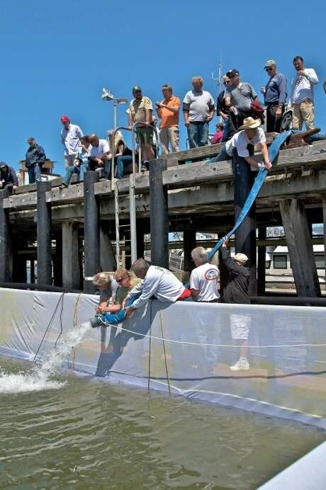 Members of the Coastside Fishing Club watch juvenile salmon released into a net pen in Pillar Point Harbor in Half Moon Bay. 130,000 six-inch salmon were trucked from a hatchery in Northern California to the harbor last week to avoid water diversions, pumps and water quality issues. A total of 360,000 juvenile fish will be released at the harbor this summer, among 12 million trucked down this year. Tthe fish will get acclimated to their new home, and then venture out to the ocean, where they can grow and inch and pound per month.