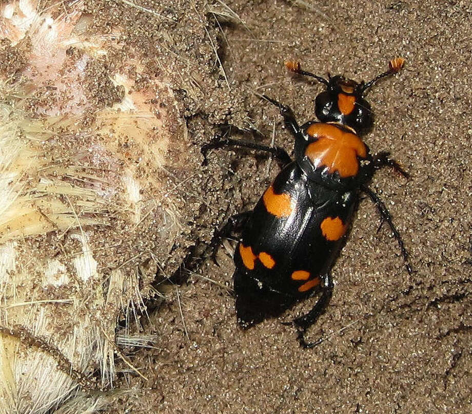 An American burying beetle. Photo: Lindsay Vivian-U.S. Fish And Wildlife Service / Handout
