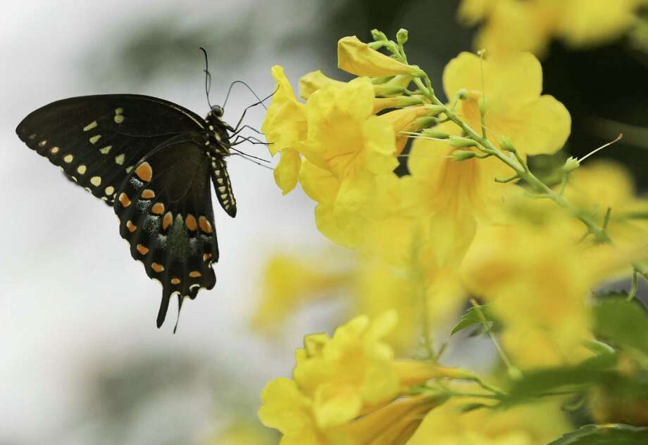 Photos from Lauren Simpson's front yard where she planted native plants in her garden to aid pollinators and attract wildlife on Wednesday, Sept. 5, 2018 in Houston. Photo: Elizabeth Conley, Houston Chronicle / Staff Photographer / © 2018 Houston Chronicle