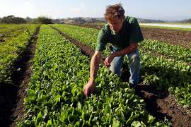 Stephen Pedersen of High Organic Farm in Watsonville, Calif., looks over his crop of organic spinach on Friday Sept. 22, 2006. Pedersen has been selling his crop of spinach at farmers markets and to various organic produce buyers. California farmers facing national scrutiny after an E. coli outbreak caused by tainted spinach are grappling with how to increase food safety in the face of hard-to-control risks like water quality and animal contact. (AP Photo/Monterey County Herald, Vern Fisher)