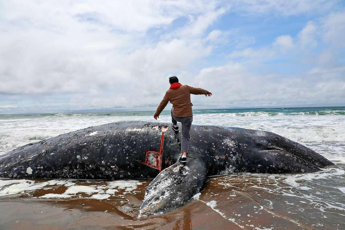 Duat Mai walks on a dead whale at Ocean Beach in San Francisco, California, on Monday, May 6, 2019.
