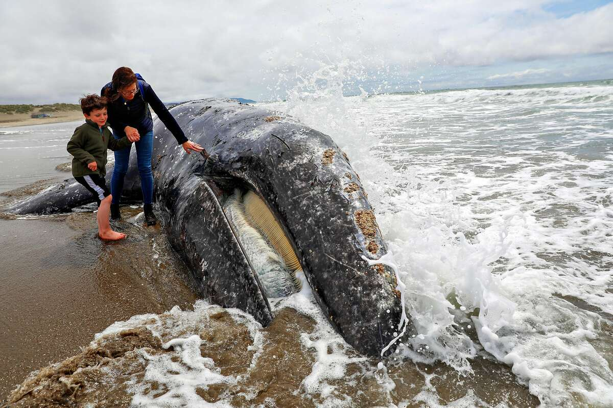 Saul Parker, 7 and his mom Caroline Parker look at a dead whale at Ocean Beach in San Francisco, California, on Monday, May 6, 2019.