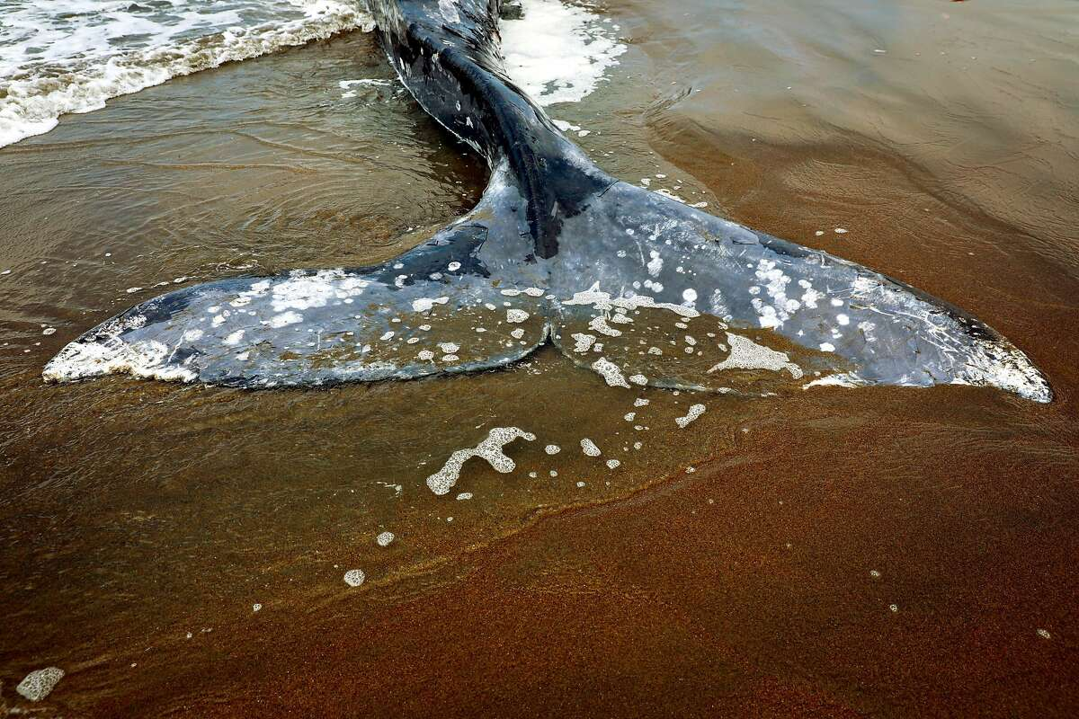 The fin of a dead whale at Ocean Beach in San Francisco, California, on Monday, May 6, 2019.