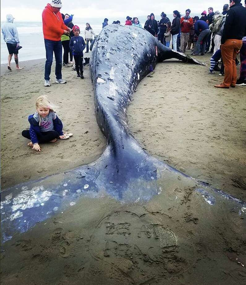 @moto.chanman shared these photos of a dread gray whale that washed shore on Ocean Beach in San Francisco on Monday, May 6th, 2019. Photo: Instagram / Moto.chanman