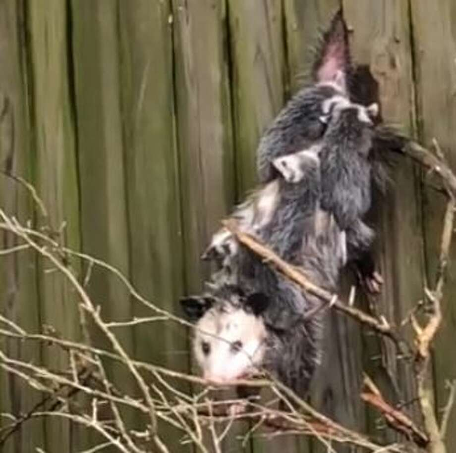 Video of the rescue shows the momma opussums' unwavering love for her family. Officials with the center said the large baby opossums were still clinging onto the mother even after several hours dangling from the fence. Photo: Wildlife Center Of Texas
