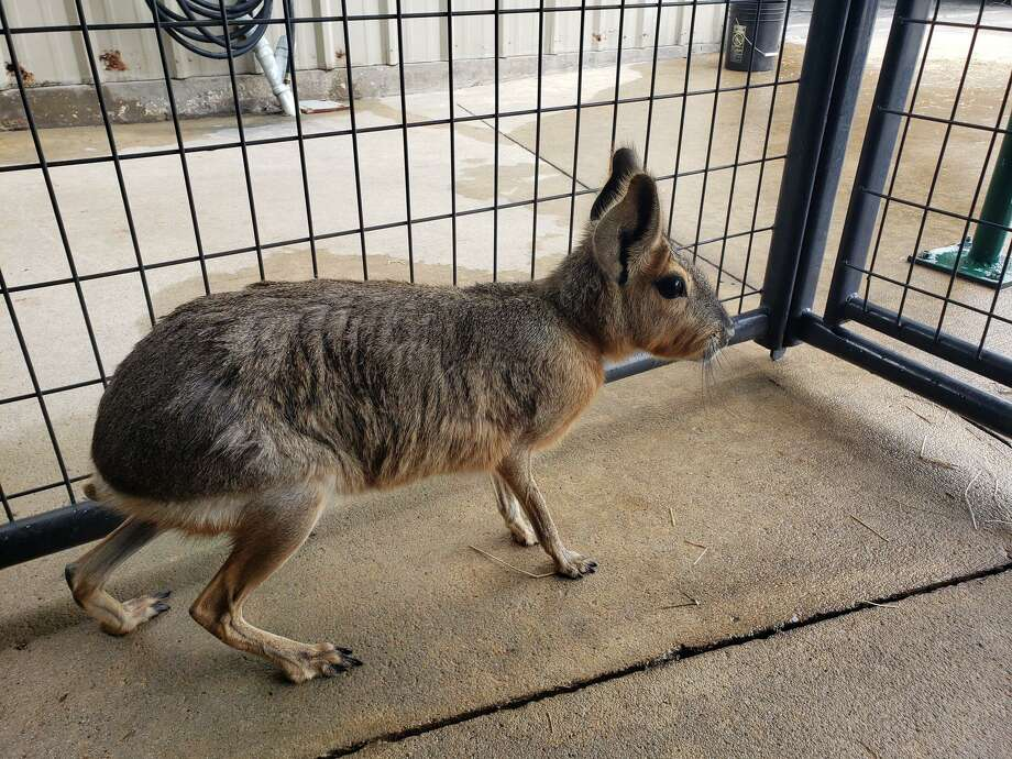 Deputies with Harris County Precinct 5 Constable Ted Heap's office helped rescue a rare animalfrom the side of the Grand Parkway near West Road on Friday. The animal — later identified as a Patagonian mara —was taken to the Houston Humane Society. Photo: Harris County Precinct 5 Constable