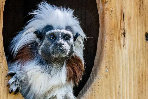Electra the tamarin met a new potential mate named Alberto the week of May 7, 2019 at the Oakland Zoo. Electra's old mate, Felix, died last year.