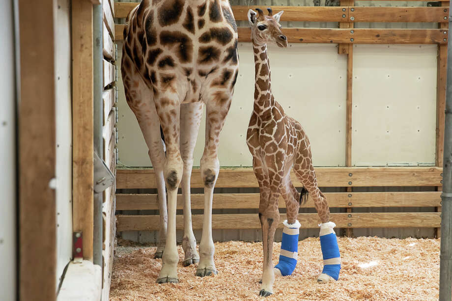 The little giraffe is otherwise healthy and Olivia continues to successfully nurse him.(May 7, 2019) Photo: Jeremy Dwyer-Lindgren / Jeremy Dwyer-Lindgren / Woodland Park Zoo