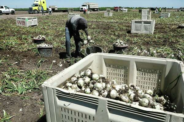 Farmworkers harvest onions near Hidalgo, in the Rio Grande Valley, which is a national hotspot for recruiting migrant farmworkers.