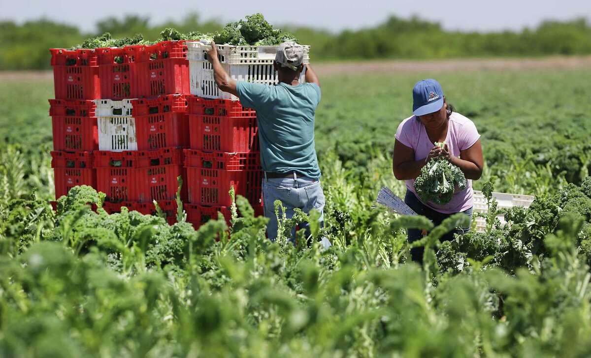 Workers stack bins of harvested kale near Hidalgo.