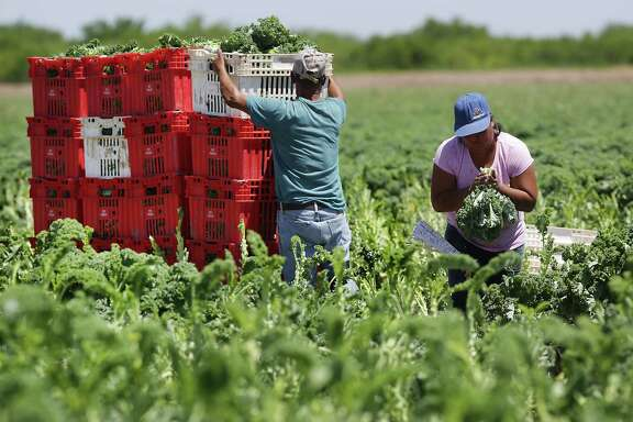 Workers stack bins of harvested kale near Hidalgo.