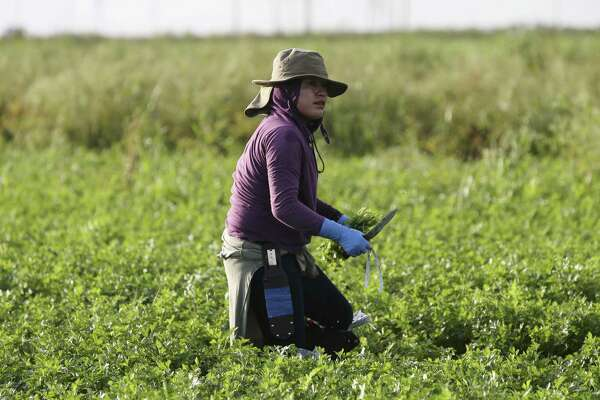 A Mexican field hand harvests parsley by hand in Belle Glade, Fla.