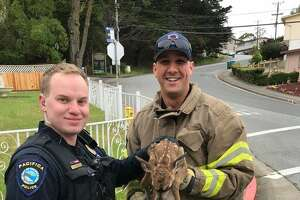 North County Fire Authority rescued a tiny fawn in Pacifica after it fell into a storm drain on Wednesday.