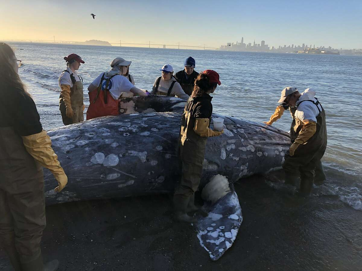 Dr. Duignan (far right) examining a gray whale carcass during a necropsy at Angel Island State Park this March with experts from The Marine Mammal Center and California Academy of Sciences.